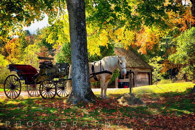 Horse-Drawn Carrieage Under A tree in Vermont