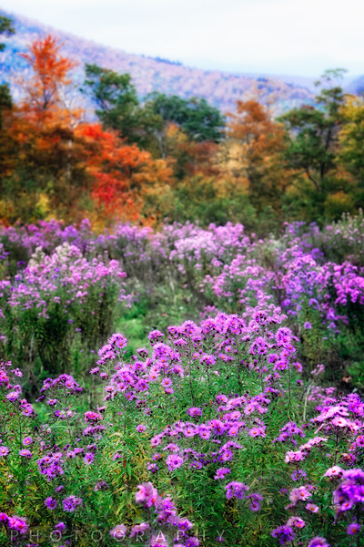 Autumn Wildflowers in the White Mountains, Crawford Notch, New Hampshire