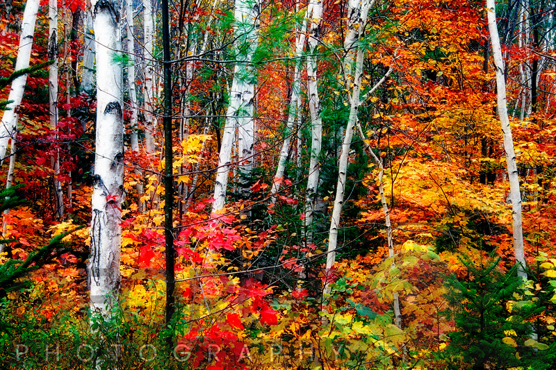 White Bark. Colorful Leaves, New Hampshire