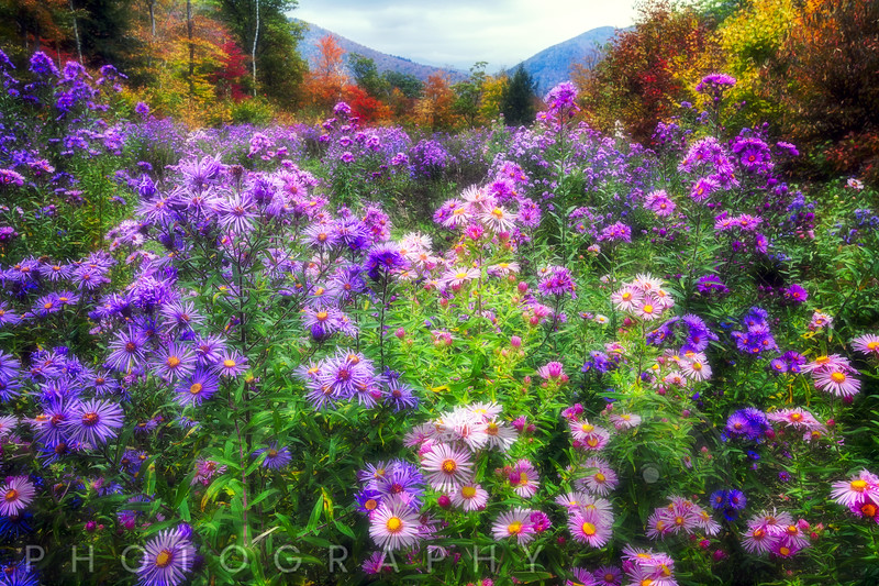 Autumn Meadow with Wildflowers, Crawford Notch, New Hampshire