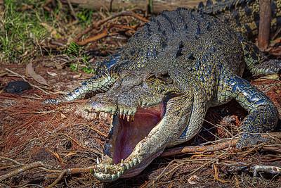 Saltwater Crocodile, Kakadu