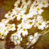 Blooming Tree, Dogwood(Cornus Florida) in Spring