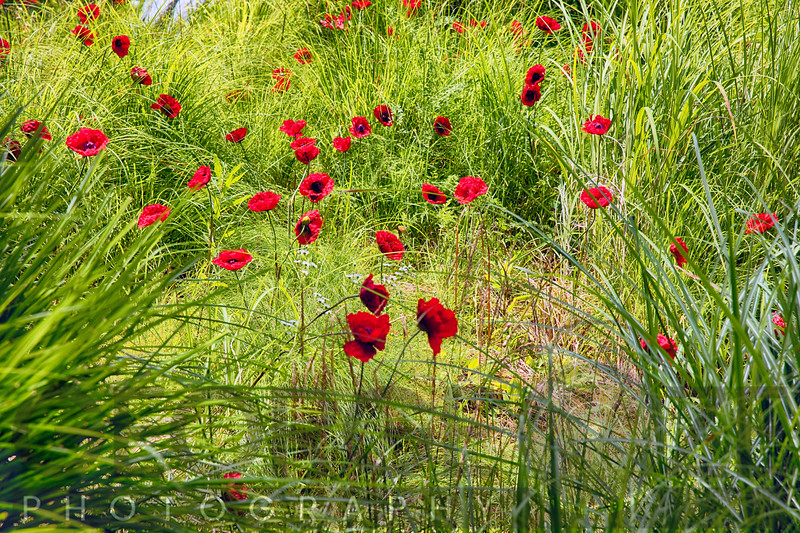 Red Poppy Flowers on a Grassy Knoll