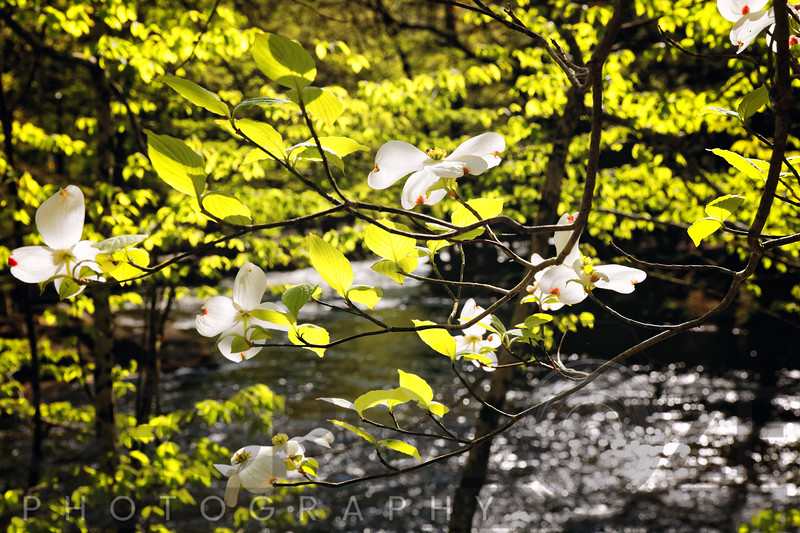 Dogwood Bllom Along a River in New Jersey