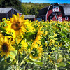 Sunflowers Field witha A New Jersey Barn