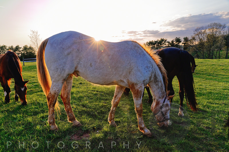Horses Grazing in a Field, Tewksbury, New Jersey
