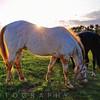 Horses Grazing in a Field, Tewksbury, New Jersey