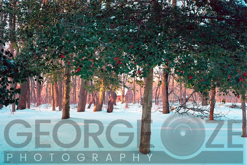 Winter Holly, Jockey Hollow State Park, New Jersey