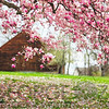 Magnolia Bloom on a Farm, Hunterdon County, New Jersey