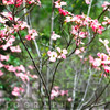 Red Dogwood Bloom, New Jersey