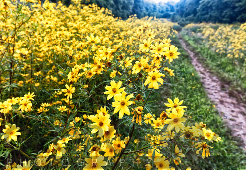 Yellow Wildflowers Blooming in a Meadow