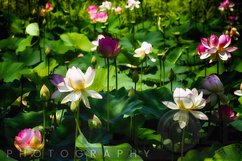 Blooming Lotus Flowers Outdoors