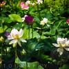 Blooming Lotus Flowers Outdoors