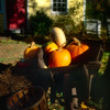 Pumpkins in a Wheelbarrow, Oldwick, New Jersey