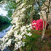 Dogwood and Azalea Blooms along the Delaware-Raritan Canal, Grig
