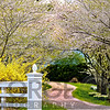 Country Road Lined with Blooming Cherry Trees, Hunterdon County New Jersey