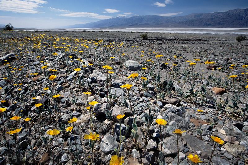 Wildflower Bloom in Death Valley National Park, California
