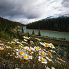 Daisies Along The Railroad and Bow River, Banff National Park, Alberta, Canada