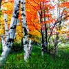Birch Trees in Diffused Light During Fall, Acadia National Park, Maine,