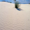Low Angle View of a Yucca Plant on a Sand Dune, White Sands National Monument, New Mexico, USA