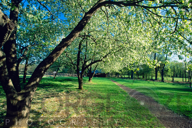 Spring Bloom in an Orchard, Historic Wicks Farm, Jockey Hollow State Park, New Jersey