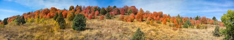 Aspen and Maple Trees on Ashton Hill (US20) near Ashton, ID