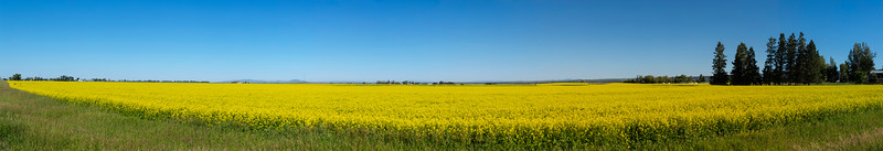 Canola Field in Ashton, Idaho