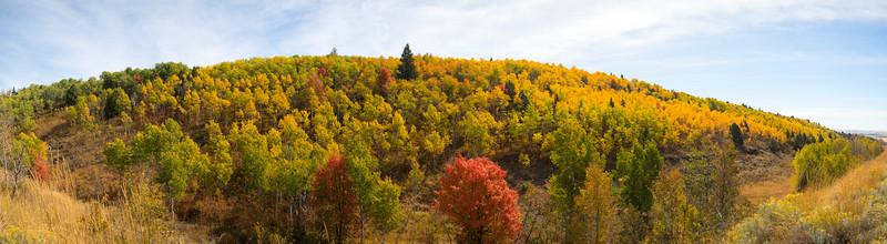 Aspen Trees on Ashton Hill, near Ashton, Idaho