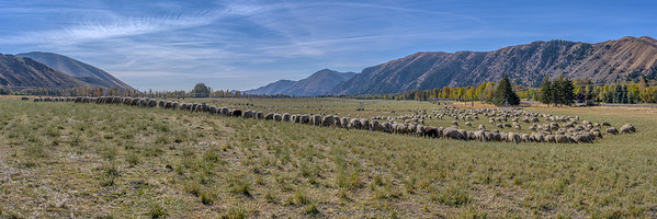 Sheep Trailing 2019, Peregrine Ranch, Idaho