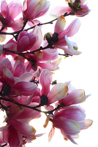 Magnolias on the Decline