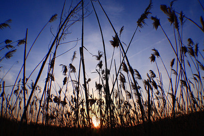 Marsh Grass at Sunset