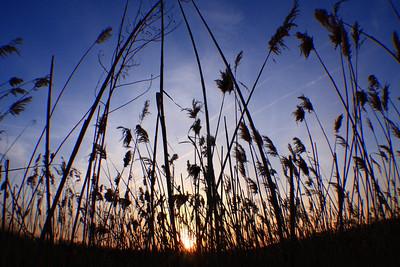 Marsh Grass at Sunset