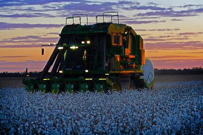 Cotton picking 8
