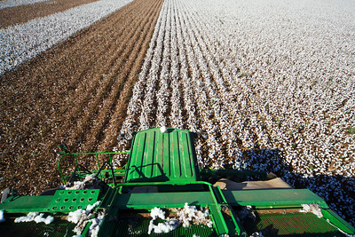 Cotton picking 9