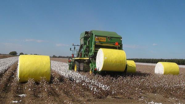 Cotton picking 10