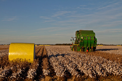 Cotton picking 2