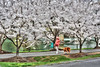 Walking dog on rail to trail with blooming cherry blossoms