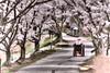 Man in wheelchair under cherry blosoms