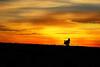 Silhouette wild turkey in field at sunset