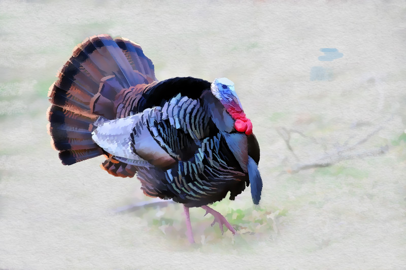 Wild turkey in field artistic