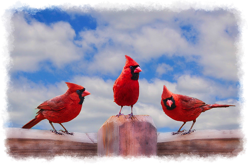 Three cardinals on fence