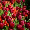 Tulip Army