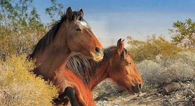 Amargosa Valley Wild Horses