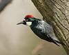 Male Acorn Woodpecker