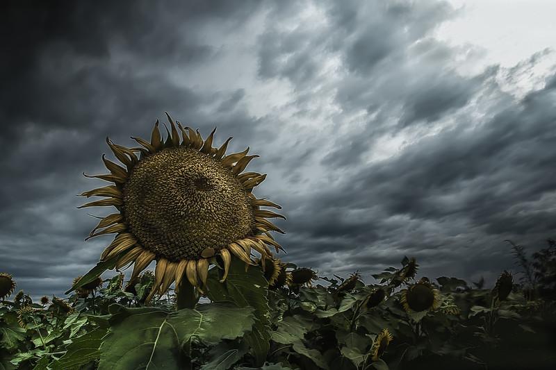 Mulberry Sunflowers