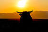 Bull at Sunrise
