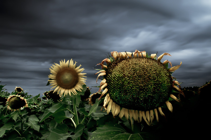 Mulberry Sunflowers