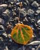 Aspen Leaf in Fall