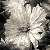 Floral B&W LR edit