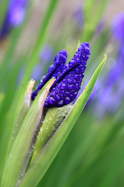 Dew Covered Iris Buds
